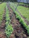 Baba's Garden Snap Peas