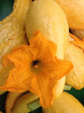 Heirloom yellow crook neck squash with honey bee in the squash blossom.