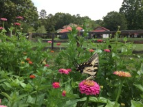 Tiger Swallowtail butterfly works with the Honeybees