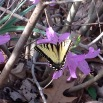 First Swallowtail in March 2016