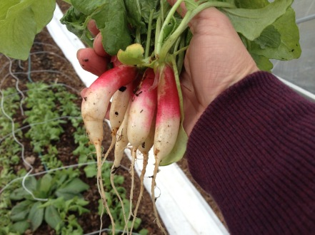 First radishes in our high tunnel in January 2016